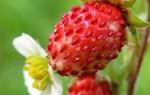 Что означает видеть ягоды земляники во сне – возможные толкования по соннику