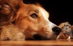 Гороскоп совместимости знаков Крыса и Собака по восточному календарю – что ожидать от отношений в таком союзе