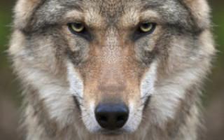 Амулет волка и волчий клык – значение символа, активация талисмана, заговор