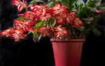 Народные приметы про цветок Декабрист – можно ли его держать дома, что значит если он зацвел