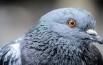 К чему ворона, голубь или другая птица садится на голову – народные приметы, возможные толкования