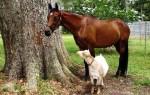 Гороскоп совместимости знаков Лошадь и Коза по восточному календарю — что ожидать от отношений в таком союзе