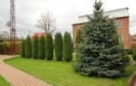 Почему нельзя садить елку возле дома или на участке – народные приметы и объяснения