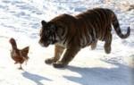 Гороскоп совместимости знаков Тигр и Петух по восточному календарю – что ожидать от отношений в таком союзе