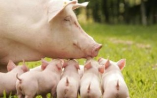 Что означает свинья с поросятами во сне – возможные толкования по соннику