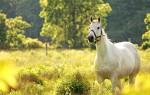К чему снится белая лошадь или конь – толкование согласно соннику и приметам