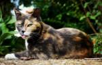 Что означает трехцветная кошка и почему она приносит счастье – народные приметы, значение, возможные объяснения