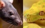 Гороскоп совместимости знаков Крыса и Змея по восточному календарю – что ожидать от отношений в таком союзе