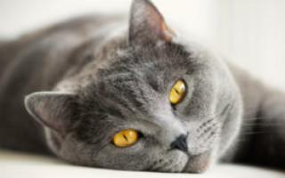 Что означает серый кот во сне – возможные толкования по соннику