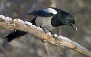 Народные приметы про сороку – к чему она прилетает во двор, садится на крышу и вьёт гнездо