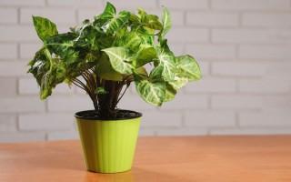 Народные приметы о цветке сингониум в доме, стоит ли держать его в квартире