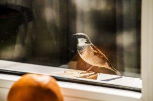 Примета — воробей, голубь, иная птица села на подоконник за окном