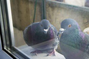 Примета голубь прилетел и сел на подоконник стучится в него