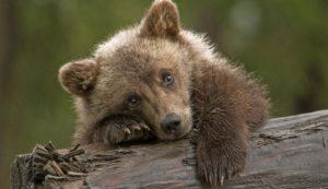 К чему снится маленький медвежонок женщине замужней. К чему снится медвежонок женщине незамужней